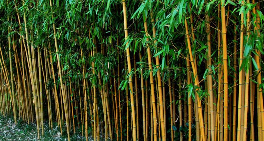 bamboehagen bamboekwekerij Kimmei Valkenswaard